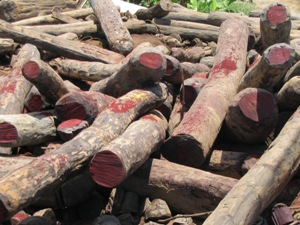 Rosewood logs stockpiled for export