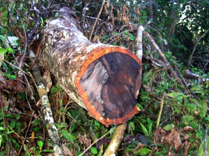 Rosewood tree felled illegally in Marojejy National Park