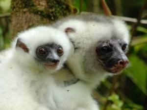 Silky Sifaka and baby